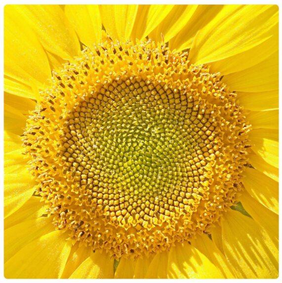 Svatební barvy, žluté odstíny slunečnice